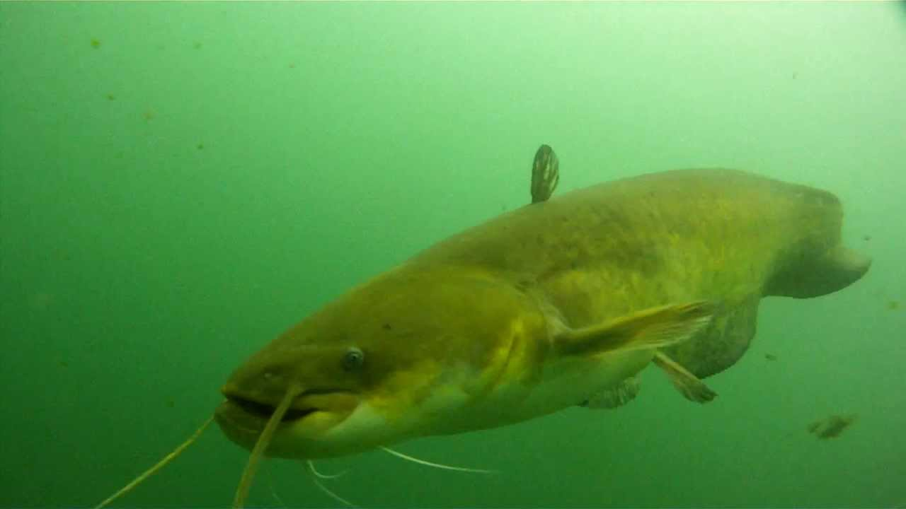 Cataluña permite la exportación a Rumania de un pez tóxico del Ebro | Sociedad | EL PAÍS