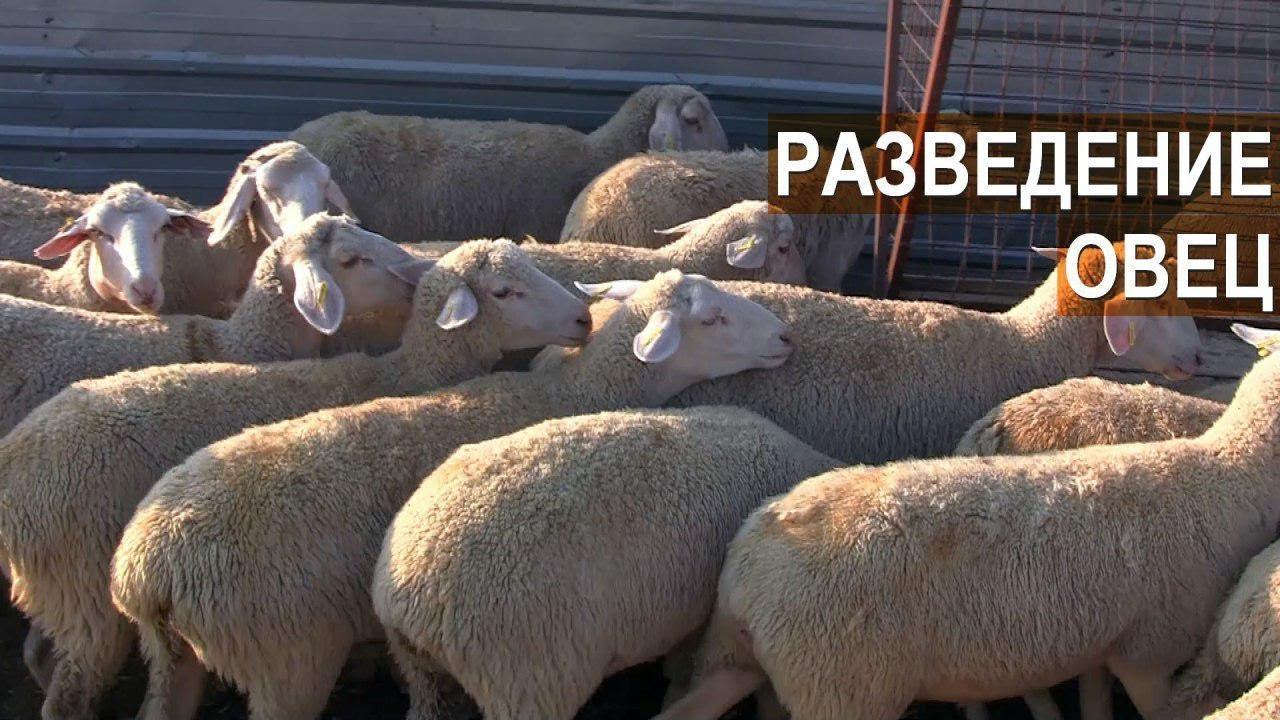 Разведение овец породы Мериноланд. КФХ Мартинс. Крым