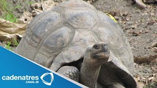 Zoológico de Bronx, EU, presenta 2 tortugas gigantes / Bronx Zoo has 2 giant turtles