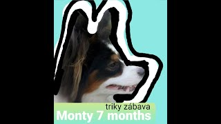 My papillon Monty 7.months  dog tricks and games