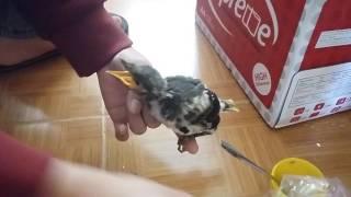 Cho chim cưỡng non ăn