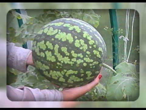 Как вырастить арбуз. Секреты сладкого арбуза