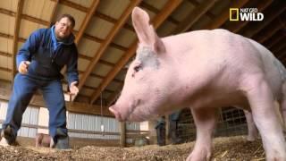 Attraper un cochon