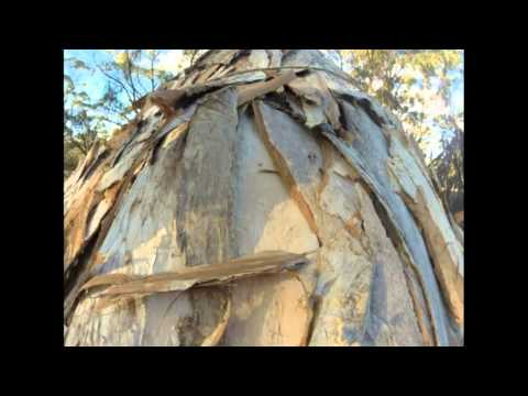 Real Southern West Australian Noongar Traditional Aboriginal Shelters - Paperback Casuarina, Sheoak