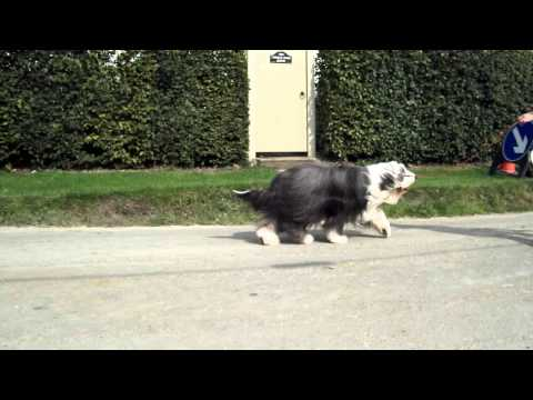 Talraz White Feathers (Creaglion) Bearded Collie