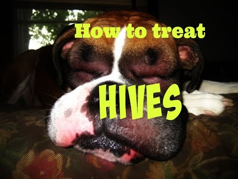 What to do if your DOG gets HIVES