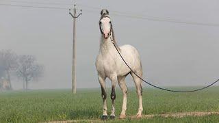 DILBAGH MAJHUKE BLOOD LINE