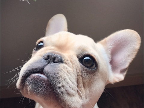 FRENCH BULLDOG: Meet Nala Park!