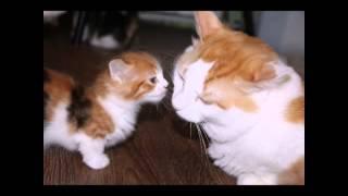 Мимишные котики манчкины!!!