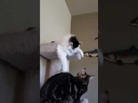 "Turkish Van cat holds her own against 7 mo. Old Maine coon ""Big Mac"""