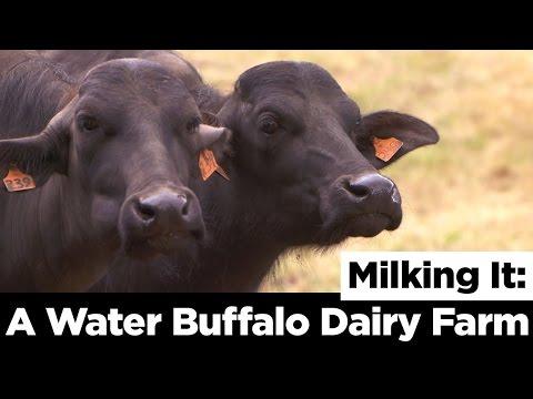 Milking It: A Water Buffalo Dairy Farm