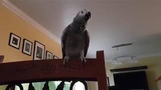 African Grey Parrot funny cat imitation