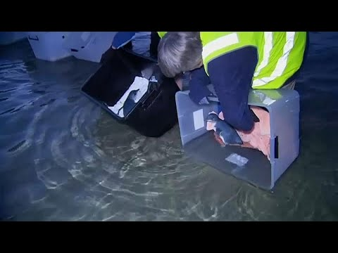 فيديو: إنقاذ 7 بطاريق صغيرة وإطلاقها حرة في المحيط في أستراليا…  - نشر قبل 24 دقيقة