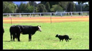 Macksville 2010 Cattle Dog Herding Trials M2u00083_wmv V9
