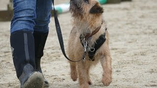 Fynn - Border Terrier - 4 Week Residential Dog Training At Adolescent Dogs