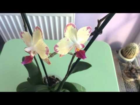 Ногохвостки в субстрате с орхидеей. Способы борьбы (часть 1)