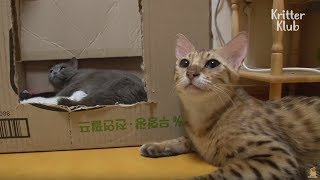 Two Cats Fight To Be The Mom Of Kittens | Kritter Klub