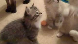 RagaMuffin Kittens Playing