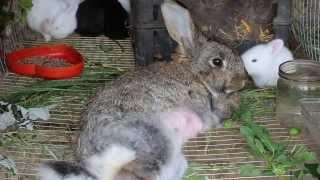 У кормящей  крольчихи парализовало задние лапы - Лечение(У кормящей крольчихи из - за недостатка кальция может случится перелом позвоночника. В этой ситуации кроли..., 2014-05-29T17:37:59.000Z)