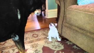 Sassy 8 week old French bulldog puppy telling off Rottweiler big sister