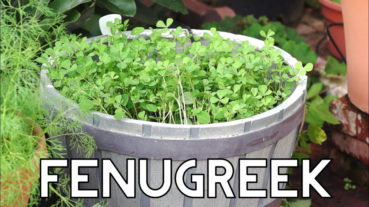 How To Grow Fenugreek Greens In Your Garden Youtube