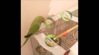 Indian ringneck Talking And whistle sounds