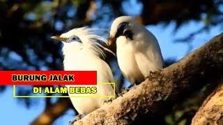 Pesona Burung Jalak Bali Di Alam Bebas