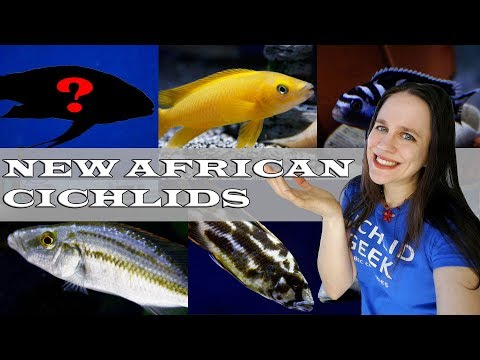 AWESOME AFRICAN CICHLID SHIPMENT -  Lake Malawi & Lake Tanganyika Cichlids + NEW SUPER RARE CICHLID
