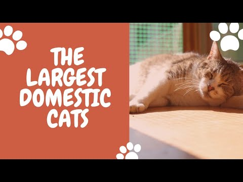 The Largest Domestic Cats