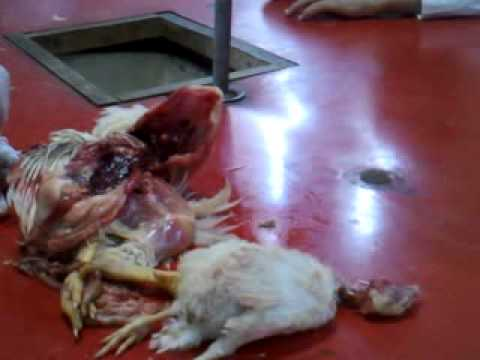 Chicken Dissection High Resolution.mp4 - YouTube