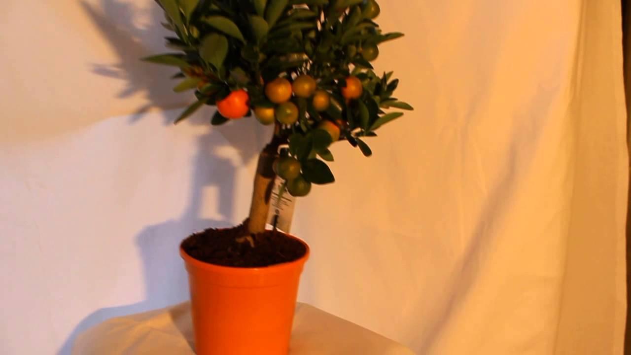 Купить комнатные растения недорого в интернет-магазине оби. Выгодные цены на декоративные домашние растения. Доставка по москве, санкт петербургу и россии.