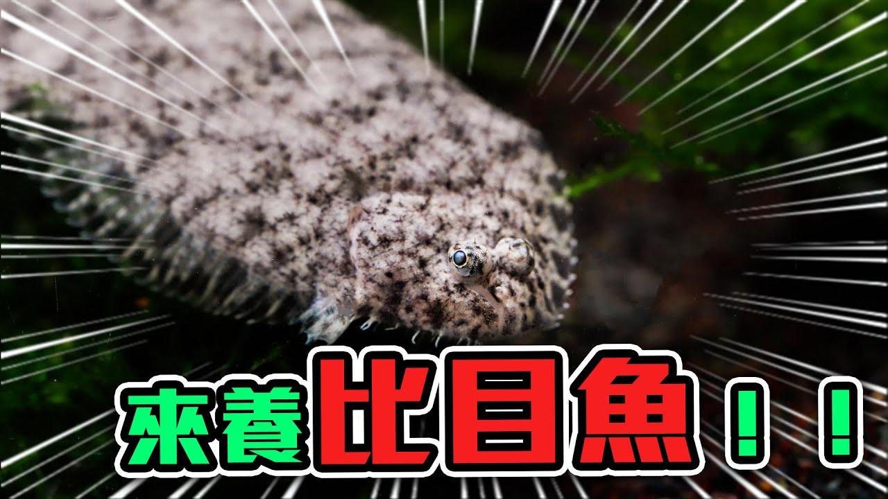 【從零開始養】像變色龍的變色魚,一年進口一次的特殊魚種!|AC草影水族