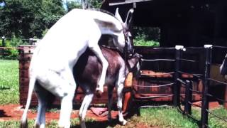 at eşek eşek çiftleşme