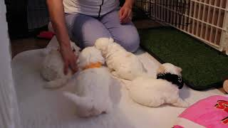 Coton Puppies For Sale - Emma 8/11/20