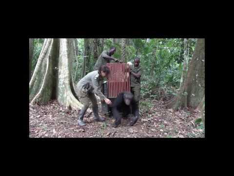 El abrazo de Ulengue, chimpancé liberado por el IJG en Congo