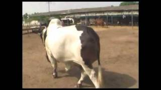 Bulldozer - bull for eid 2011 by shah cattle farm