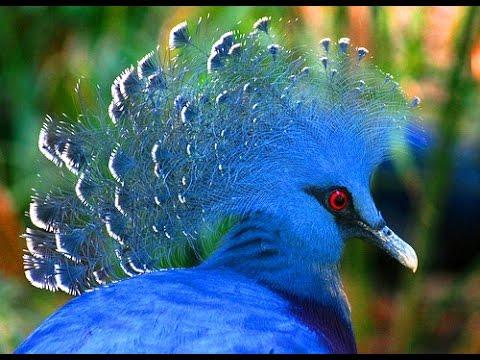 Венценосные Голуби. В МИРЕ ЖИВОТНЫХ