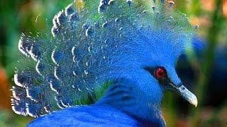 видео Веероносный венценосный голубь