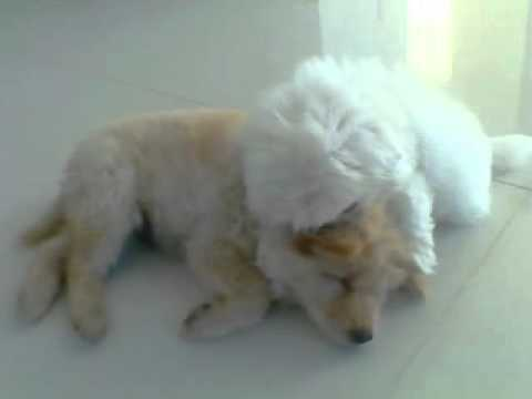 Cute Fluffy Fat Puppies Playing Super Adorable Youtube