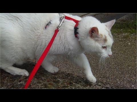 Walking around my 15 years old Diabetic Indoor Turkish Van Cat around the Botanical Garden - Part 2