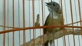 Burung Wambi Mini Gacor Suara Banyak Mantap Buat Masteran