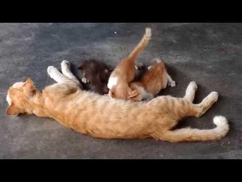 Tioman island, Malaysia 20160525 Cats at the ABC village