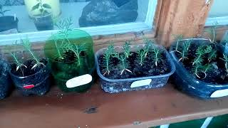 видео Выращивание туи из семян