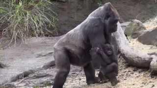 Bronx Zoo Gorilla Babies 2015