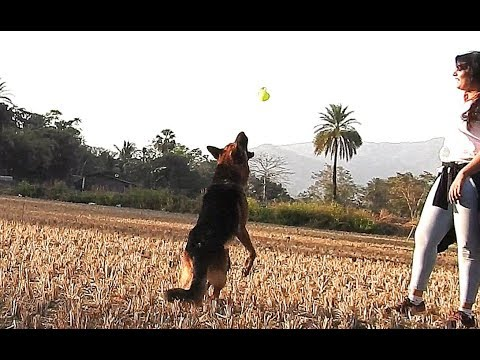 GSD With Trainers Training