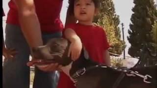 American Pit Bull Terrier Club Deportivo En Cd Juarez