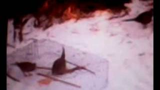 Ловушка на фазана 2012