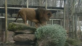 Zoo animals welcome recycled Christmas trees