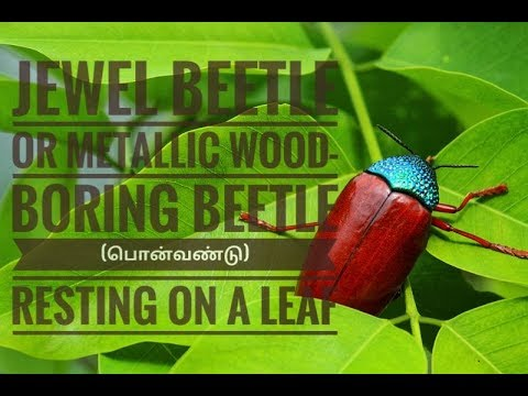 Jewel beetle or metallic wood-boring beetle (பொன்வண்டு) resting on a leaf
