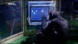Поведение животных: Шимпанзе - тест на память